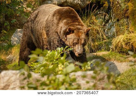 Big grizzly bear searching for food in captivity of zoo