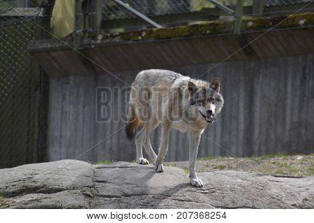 A grey wolf wandering through its enclosure
