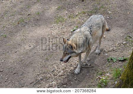 A grey wolf wandering through its enclosure at Skansen Stockholm Sweden