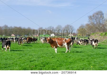Dutch black and white cows in the pastures