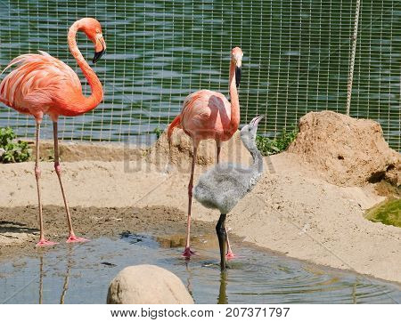 Pink flamingos at the zoo. Pink flamingos at the zoo. The adult bird feeds her Chicks