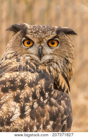 Perched Eurasian Eagle-Owl (Bubo Bubo) in captivity with piercing eyes