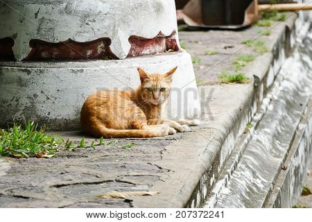The orange homeless cat lives in a temple in Thailand. Stray cat remains a still unresolved problem in Thailand.
