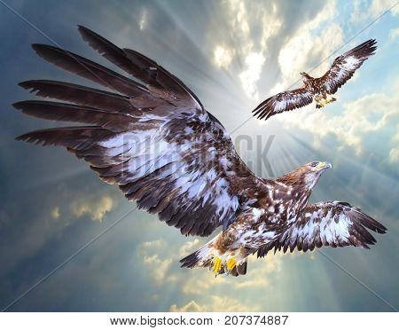 Two eagles soaring over airport as a guard against small birds and hobby UAV.  Air traffic safety theme.