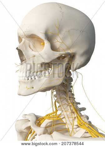 3d rendered medically accurate illustration of the head nerves