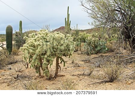 Large teddybear cholla or cane cactus with green fruit in Saguaro National Park, Tucson, Arizona, USA including a large assortment of other desert plants with copy space.