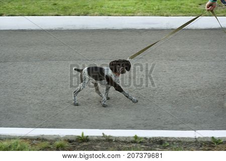 Curious dog on a leash. Walking dogs in the park