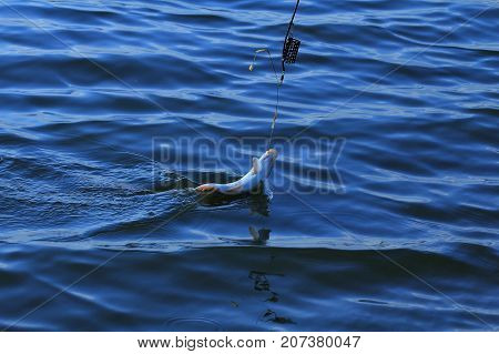 A carp on the hook. A small freshwater fish pop the hook. Tackle. Fishing on freshwater lakes.