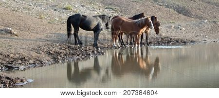 Small Band / Herd Of Wild Horses Drinking At The Waterhole In The Pryor Mountains Wild Horse Range I