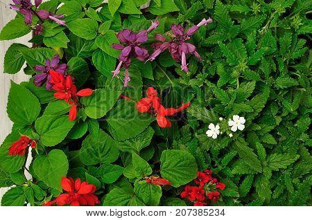 A variety of Salvia dwarf and Verbena seedlings