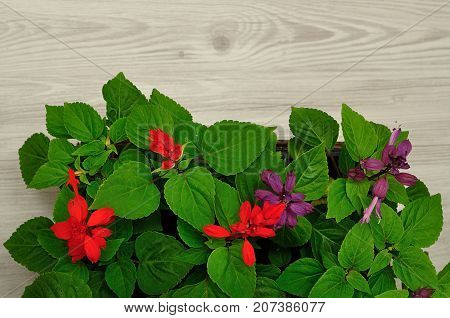 A variety of Salvia dwarf seedlings isolated on a wooden background