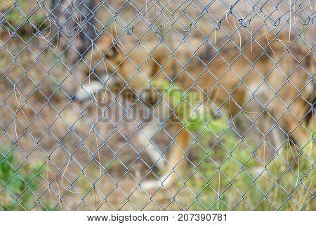 Out of focus Canis Lupus Signatus behind railing, focus on railing