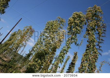 Growing Hops In Kent At Harvest Time