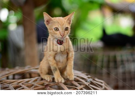The Lovely  Local  Brown  Young And Naughty Kitten Sitting On The Bamboo Basketwork
