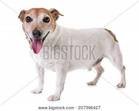 old jack russel terrier in front of white background