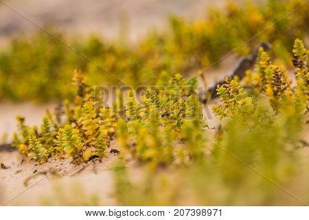 A small bright seaside plants growing in the sand. Beach scenery with local flora. A beautiful colorful close up of a seaside plants.