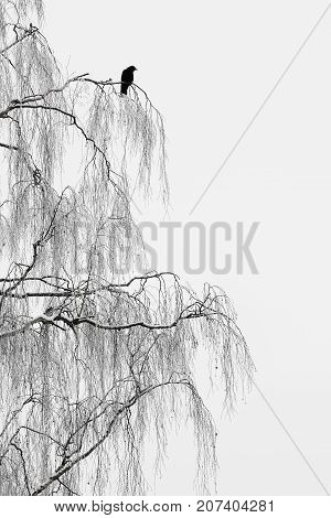 Bird on branches. Silhouette of crow on tree in foggy winter day.
