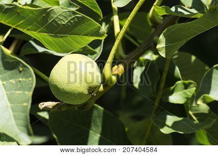 Fruit of a common walnut in a green peel among green foliage (Juglans regia)