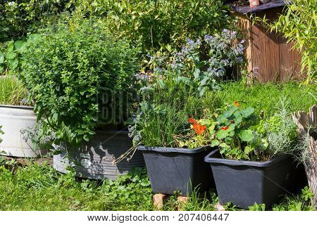 Aromatic kitchen herbs planted in containers supposed to be used for cooking and healthy tea.