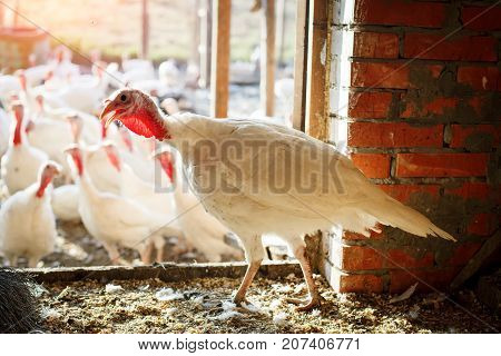 Turkey-cocks on a traditional poultry farm. Agriculture.