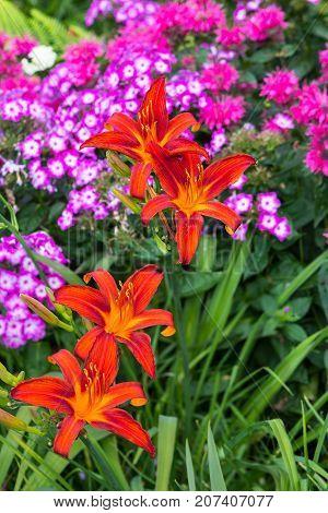 Blossoms Of Orange Daylily.