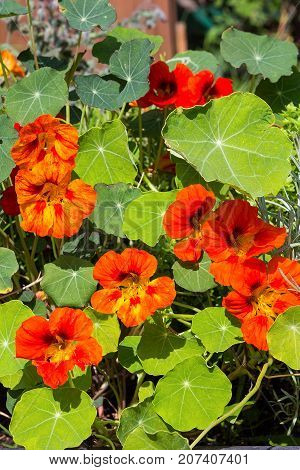Blossoms And Leaves Of Watercress Or Nasturium.