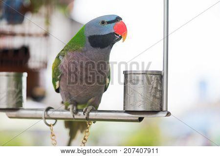 Psittacula alexandri parrot on an iron perch looking at camera close-up, China