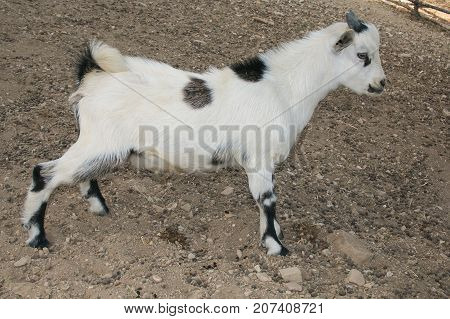 Profile of baby dwarf tibetan goat in the farm