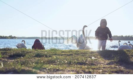 Two happy kids feed white swans. The swan stands up and waves his wings