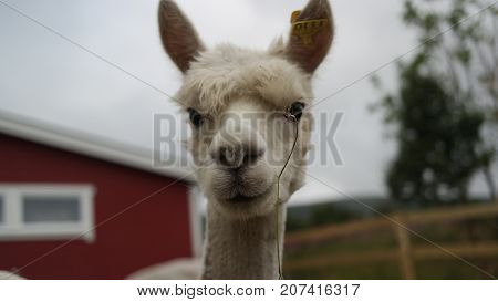 A face of cute white and hairy alpaca