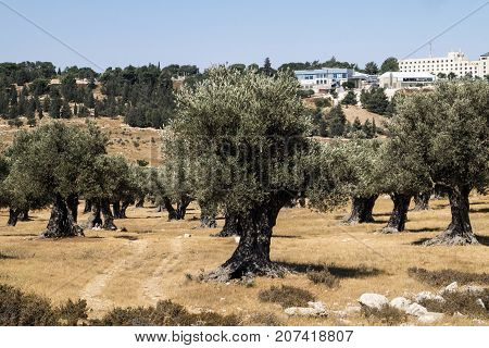 Old olive grove in the city (Israel, Jerusalem)