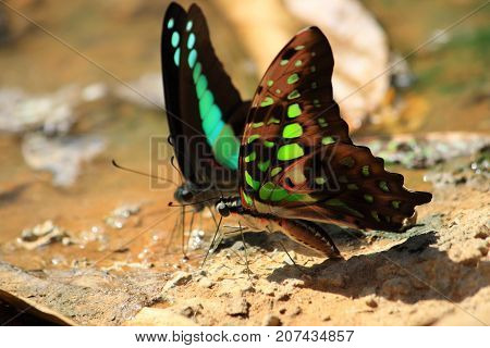 Blue green butterfly drinking water from earth moisture