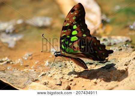 colorful butterfly drinking water from earth moisture