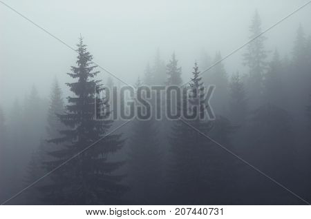 Misty fog in fir forest on mountain slopes