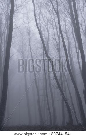 Misty fog in beech deciduous forest on mountain slopes