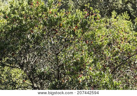Arbutus (arbutus unedo) are small trees or shrubs native to warm temperate Mediterranean regions with red flaking bark and edible red berries.
