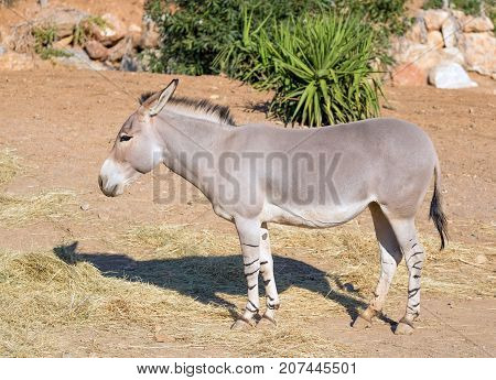 Somali wild ass (Equus africanus somaliensis) a critically endangered species found in Somalia, Eritrea, and Ethiopia.