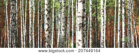 Beautiful landscape with white birches. Birch trees in bright sunshine. Birch grove in autumn. The trunks of birch trees with white bark. Birch trees trunks. Beautiful panorama.