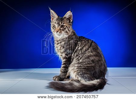 Kitten on a blue background. Decorative image of a kitten. A wonderful picture for children's accessories.