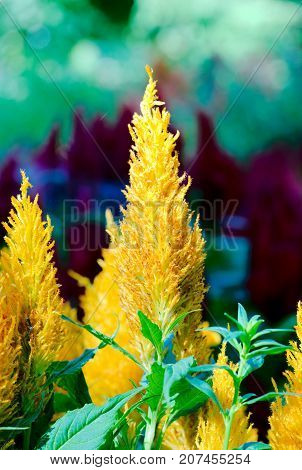 Pampas Plume Celosia Mix plant blooming and full bloom