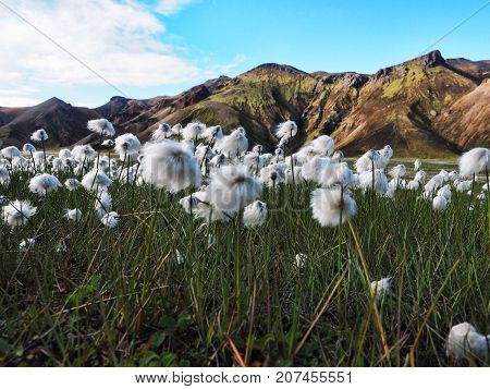 Field of cotton grass in a valley surrounded by rhyolite mountains at Landmannalaugar Iceland