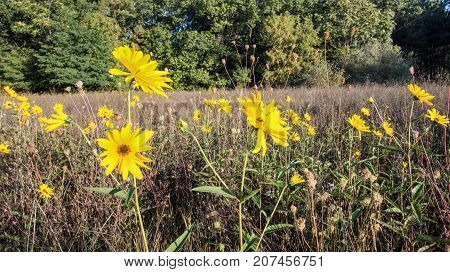 Woodland Sunflower Meadow Background. Group of Woodland Sunflowers in a Michigan meadow