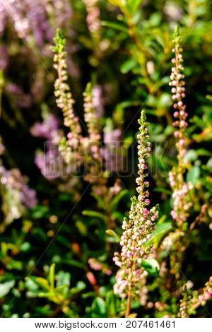 Detail of heather flower - summer abstract