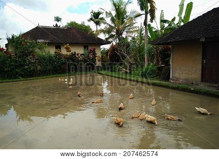 ducks in a rice field. Ducks on a tropical background of Bali island Indonesia. Ducks in a rice paddy after the harvest Reflection in water