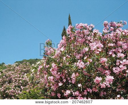 Blooming oleander bushes on a mountains background in Montenegro. Beautiful pink flowers and blue clean sky. Adriatic spring and summer.
