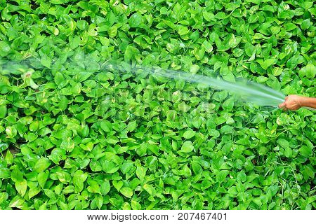 Gardener Watering Vibrant Green Devil's Ivy Plants with Spray Hose Pipe