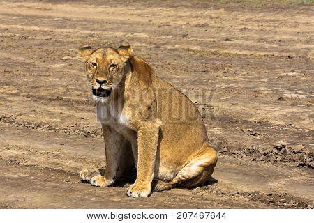 The lazy lioness. Sandy savanna of Serengeti, Tanzania