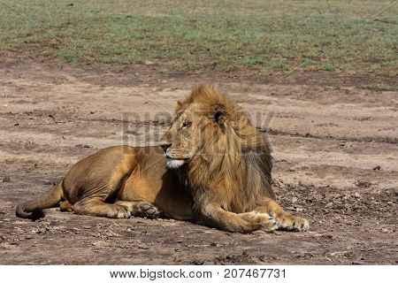 The lazy lion. on the ground. Sandy savanna of Serengeti, Tanzania