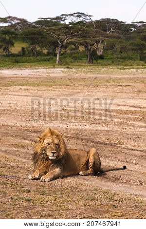 Lion resting on the ground. Sandy savanna of Serengeti, Tanzania