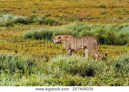 The cheetah creeps up to the prey. Serengeti, Tanzania